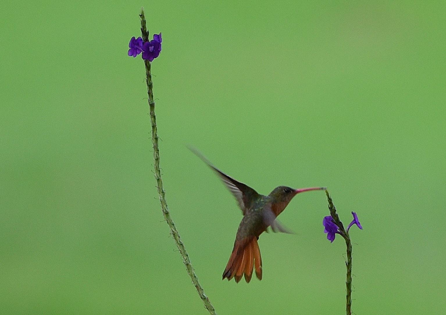 Costa Rica - colibrì