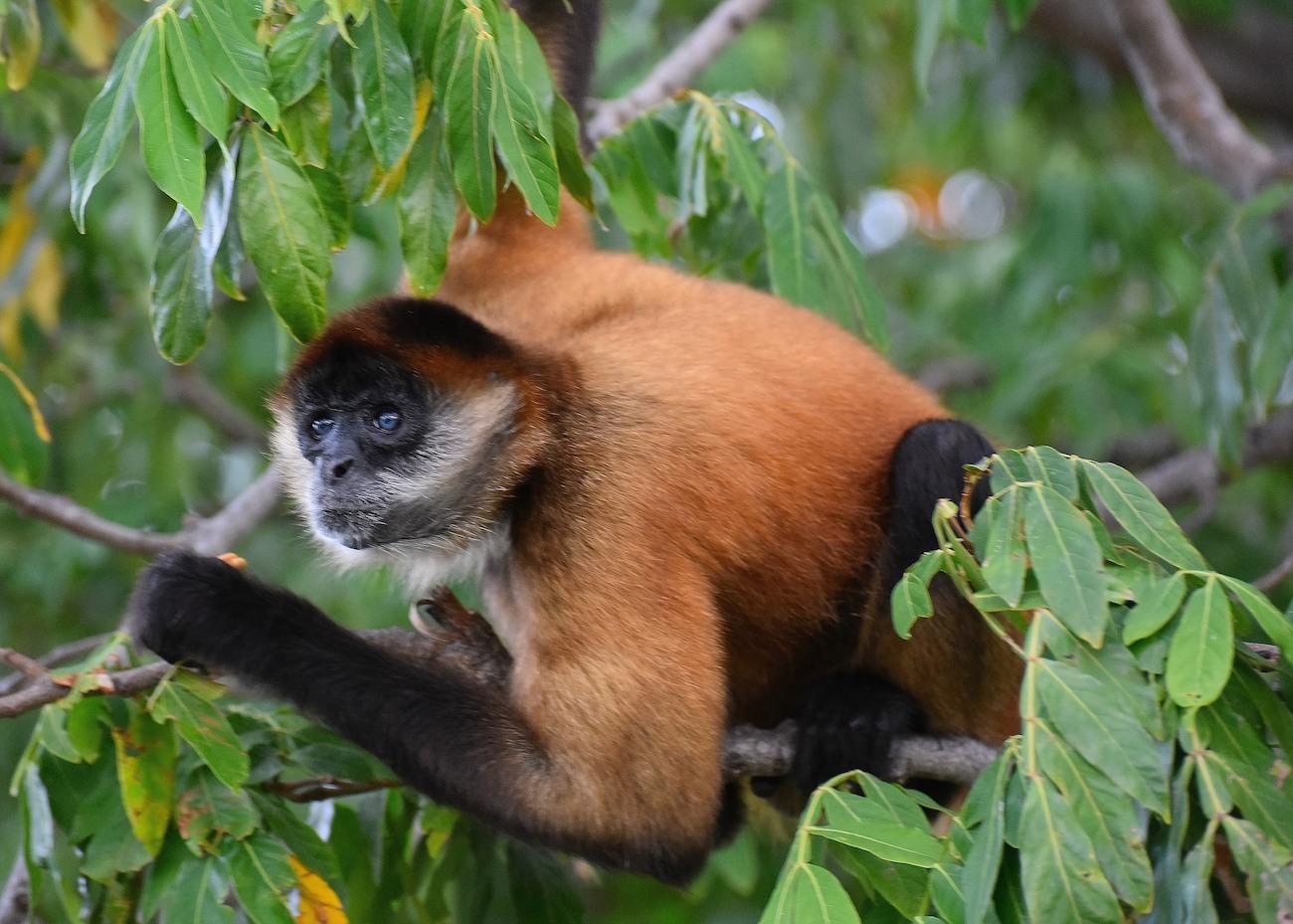 Costa Rica - scimmia cappuccino
