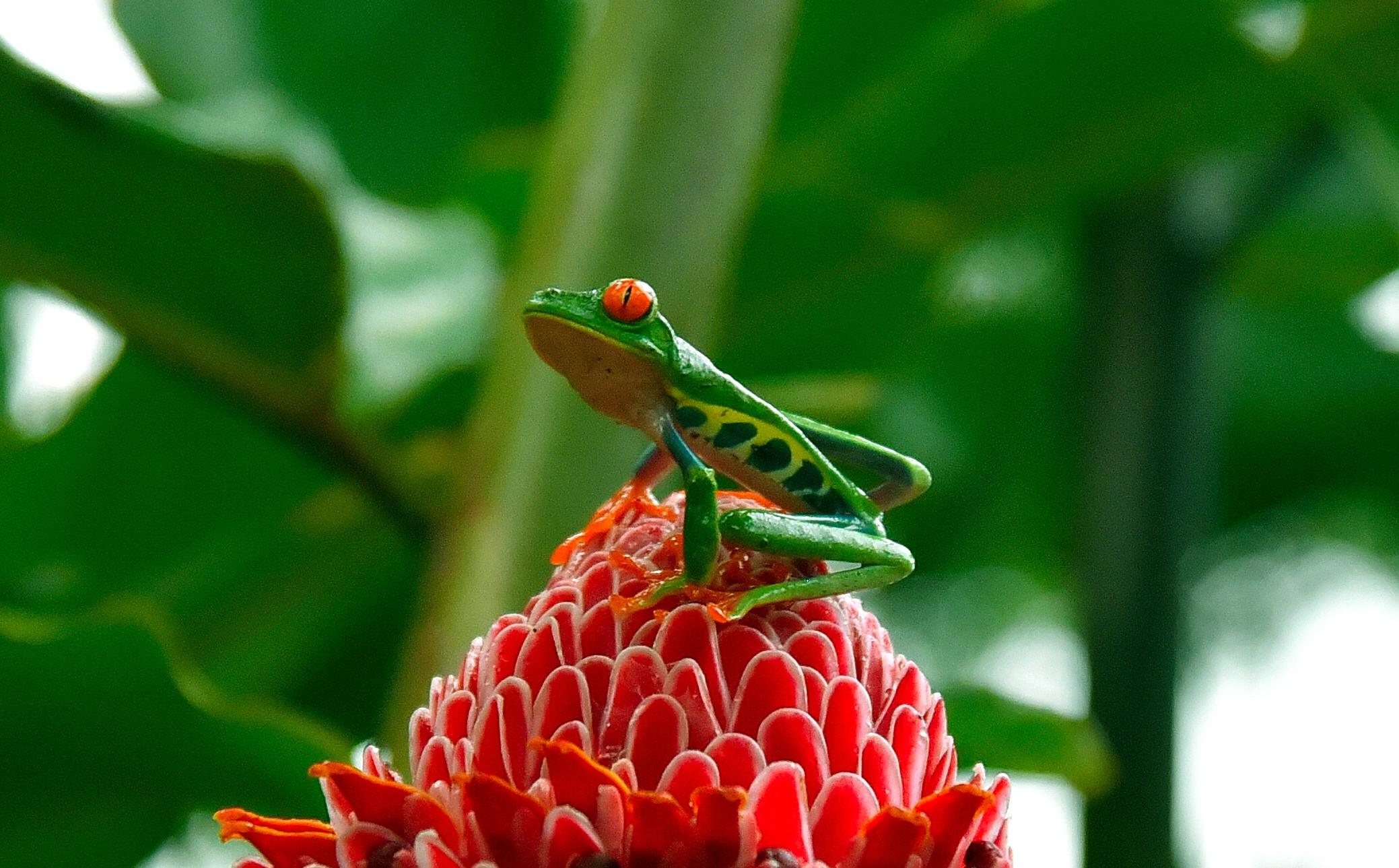 Costa Rica - raganella