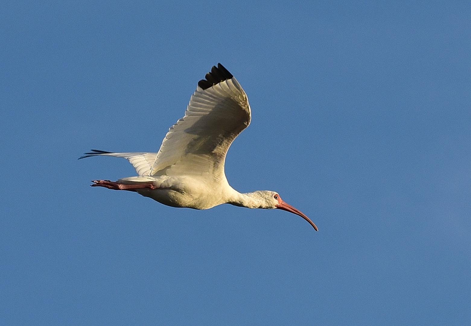 Florida - Ibis in volo