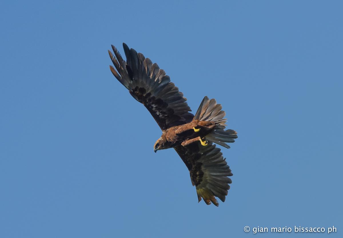 Italia - falco di palude