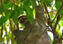 Costa Rica - bradipo