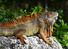 Florida, iguana