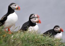 Islanda - Pulcinelle di mare