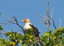 Kenya - Aquila di mare